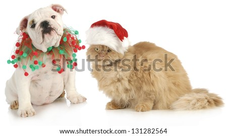 christmas pet - english bulldog and a cat sitting isolated on white background - stock photo