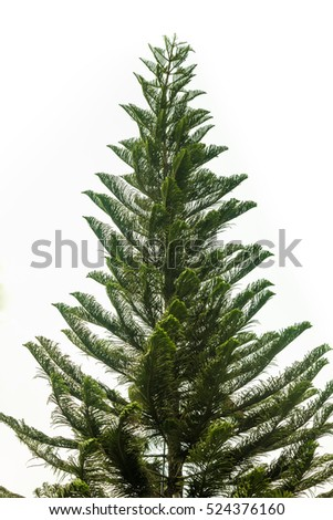 Christmas pine trees isolated on a white background.
