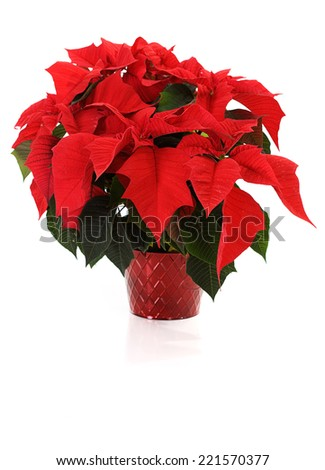 Christmas Poinsettia Isolated On White