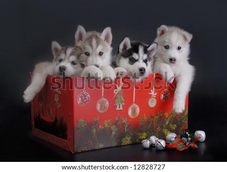 Christmas puppies - stock photo