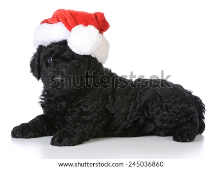 christmas puppy - barbet wearing santa hat sitting on white background - stock photo