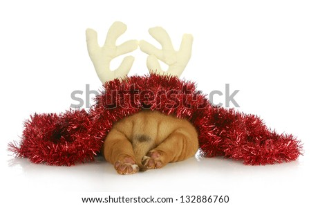 christmas puppy - dogue de bordeaux puppy dressed up like rudolph photographed from behind isolated on white background - stock photo