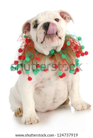christmas puppy - english bulldog puppy wearing red and green scarf on white background