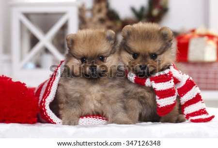 christmas puppy Pomeranian spitz  - stock photo