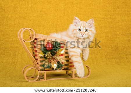 Christmas related image of a Siberian Forest Cat kitten sitting inside bamboo Christmas sleigh sled on gold background  - stock photo