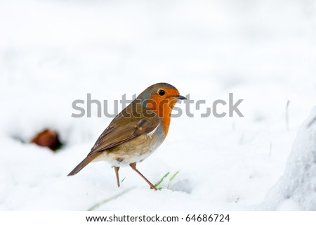 Christmas Robin Alert in Winter Snow with Green Shoots - stock photo