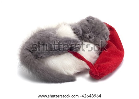 christmas scottish fold kitty laying in Santa hat