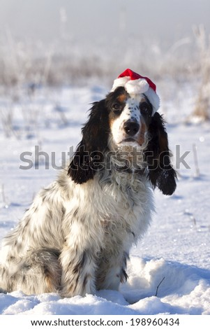 Christmas Spaniel in Snow - stock photo