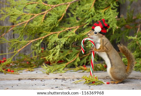 Christmas squirrel who seems to be very happy to have found a candy cane on a rustic wood and cedar background with copy space. - stock photo
