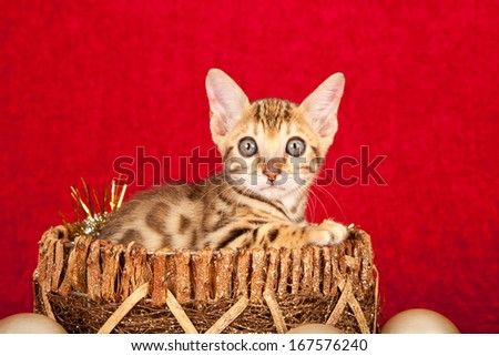 Christmas theme Bengal kitten sitting inside gold basket with gold glitter ornaments against red backdrop - stock photo