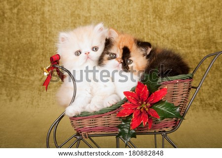 Christmas theme Exotic and Persian kitten sitting inside festive decorated sleigh on olive green background