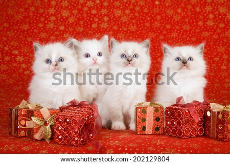 Christmas theme Ragdoll kittens with Christmas gifts on red background  - stock photo