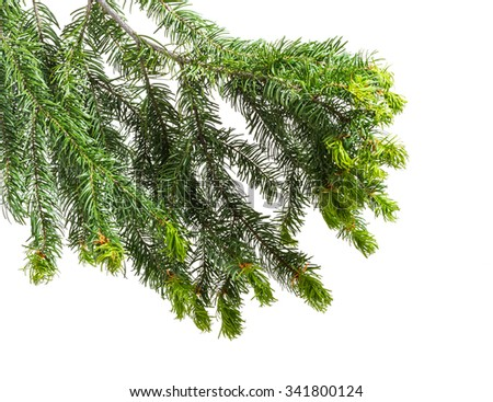 christmas tree branch isolated on white