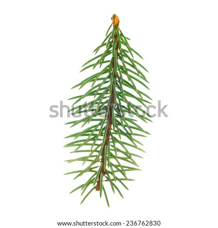 Christmas tree branch, isolated on white background - stock photo