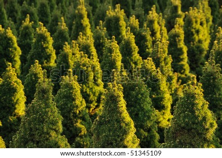Christmas tree farm, a background of young spruces with warm side lighting - stock photo