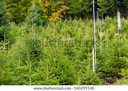 Christmas tree plantation  - stock photo