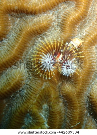Christmas Tree Plume Worm on Green Brain Coral Key West Florida - stock photo