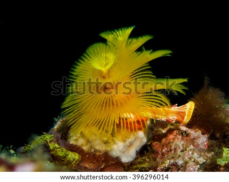 Christmas tree tube worm coral - stock photo