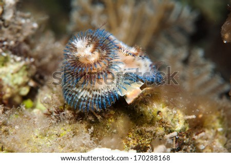 Christmas Tree Worm _ Blue - stock photo