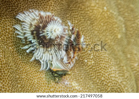Christmas tree worm in hard coral in Raja Ampat Papua, Indonesia - stock photo