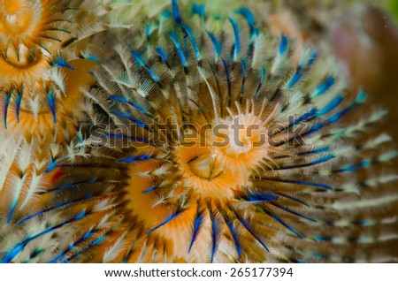 Christmas Tree Worm in Indonesia - stock photo