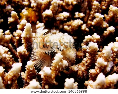Christmas tree worm inside coral - stock photo