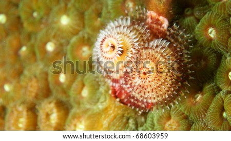 Christmas Tree Worm on a reef in south east Florida. - stock photo