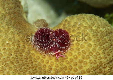 christmas-tree worm on boulder star coral