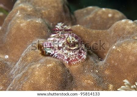 Christmas Tree Worm-Spirobranchus giganteus - stock photo