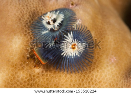 Christmas Tree Worm (Spirobranchus giganteus) on a tropical coral reef in Bali, Indonesia. - stock photo