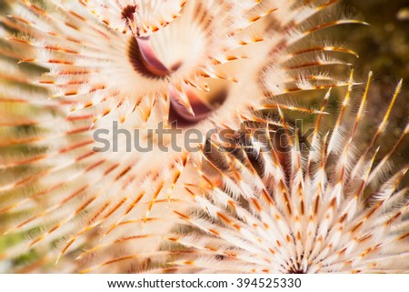 Christmas tree worm {Spirobranchus} sp. super macro looks like a spectacular underwater firework. Red sea, June. - stock photo