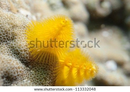 Christmas Tree Worm_Yellow - stock photo