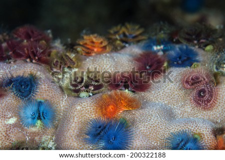 Christmas tree worms form colorful bouquets on a coral colony in Raja Ampat, Indonesia. This area is known to be the heart of the Coral Triangle, extremely high in marine biodiversity. - stock photo