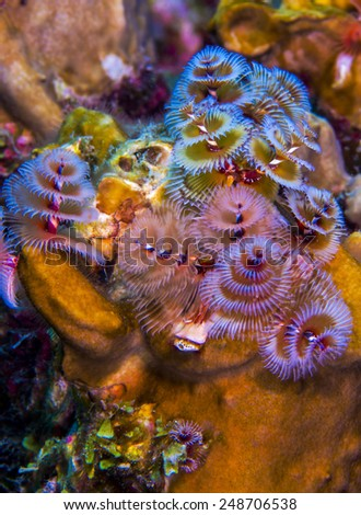 Christmas tree worms in Curacao - stock photo
