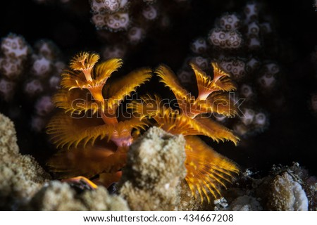 Christmas tree worms (Spriobranchus giganteus) live on a coral reefs throughout the world. The spiral structures, called radioles, are used for both feeding and respiration. - stock photo
