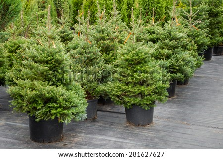 christmas trees in pots for sale - Christmas Tree In A Pot