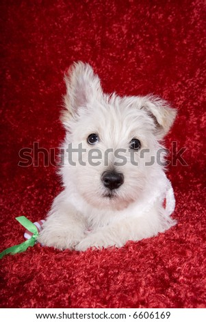 Christmas white Scottish Terrier pup on red background