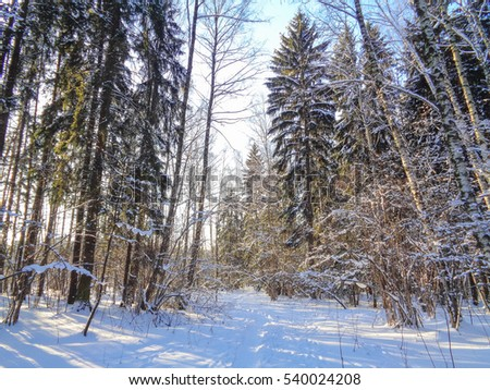 Christmas winter forest under the cold december sun - all the trees in the snow. Nature of Eastern Europe