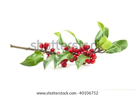 christmas winter holly and red berries on white