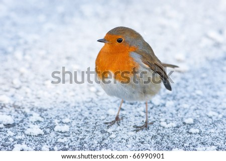 Christmas Winter Robin on Icy Snowy Ground