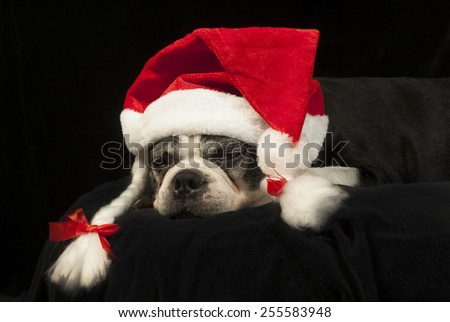 Christmas with a Boston Terrier