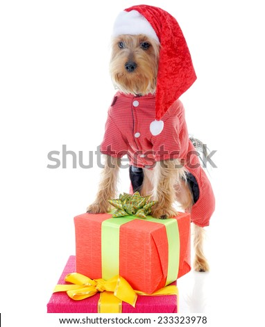 Christmas yorkie in christmas hat. Isolated on white background - stock photo