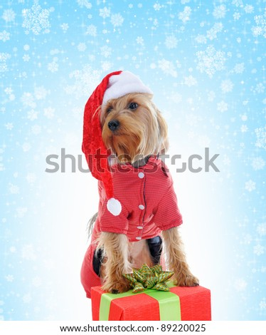 Christmas yorkie in red Santa Claus hat.