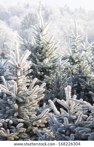 christmastree plantation - stock photo