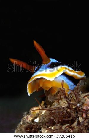 Chromodoris annae, a nudi branchia, sea slug... - stock photo