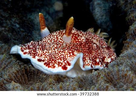 chromodoris tinctoria, nudi branch, a kind of sea slug, mollusc - stock photo