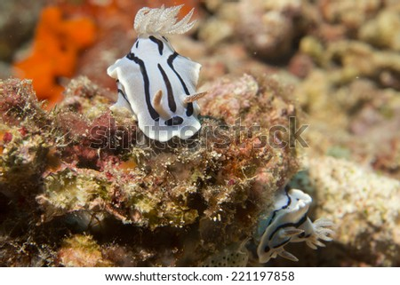 Chromodoris wilani nudibranch underwater portrait macro - stock photo