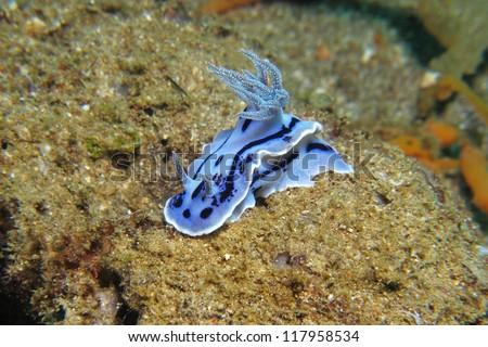 Chromodoris willani nudibranch (Chromodoris willani). Nudibranch is a type of sea slug known for its colorful body. - stock photo