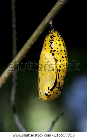 Chrysalis of butterfly hanging on branch - stock photo