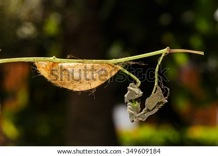Chrysalis of Golden Emperor Moth ( Loepa sikkima ) on twig